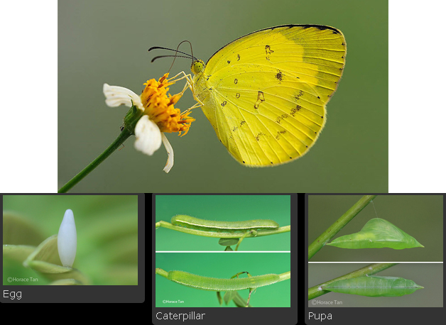 insect-common-grass-yellow.jpg